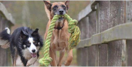 2 כלבים רצים ומשחקים
