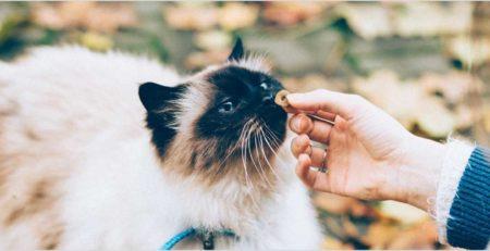 חתול סיאמי עם קולר