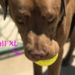 כדור לעיסה לכלבים תוצרת ארהב