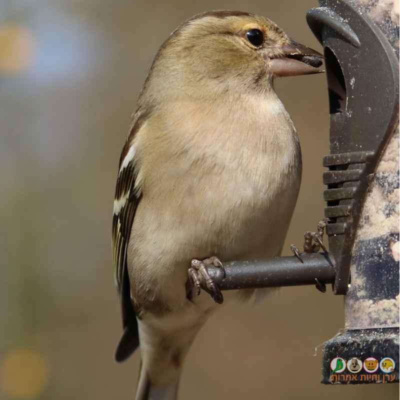 ציפור בר אוכלת ממתקן תלוי בחצר