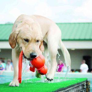 כלב בבריכה משחק עם צעצוע קונג וובה