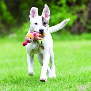 כלב רץ ומשחק בצעצוע של קונג