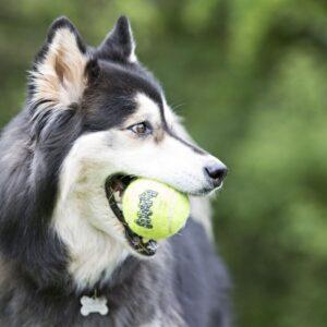 כלב מחזיק בפה כדור טניס של KONG