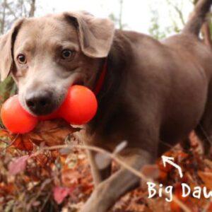 כלב מגזע בינוני עם צעצוע בצורת משקולת בפה, ראפדג