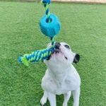 צעצוע דנטלי לכלבים, פטקס