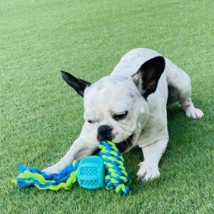כלב בולדוג צרפתי משחק עם צעצוע