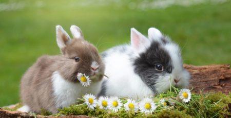 זוג ארנבים ננסים על הדשא