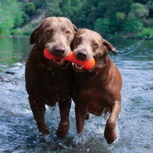 שני כלבים יוצאים מהמים עם צעצוע של ראפדאג בפה