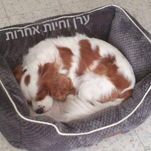 כלב קוקר ספניאל ישן על מיטה של אמריקן קאנל קלאב