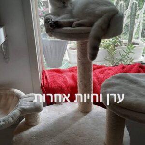 חתול בריטי רובץ על מתקן גירוד לחתולים