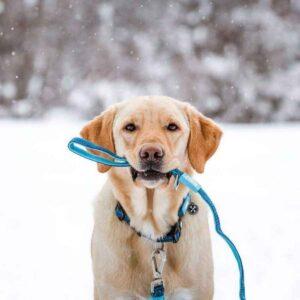 כלב מחזיק בפה רצועה של מקס ומולי