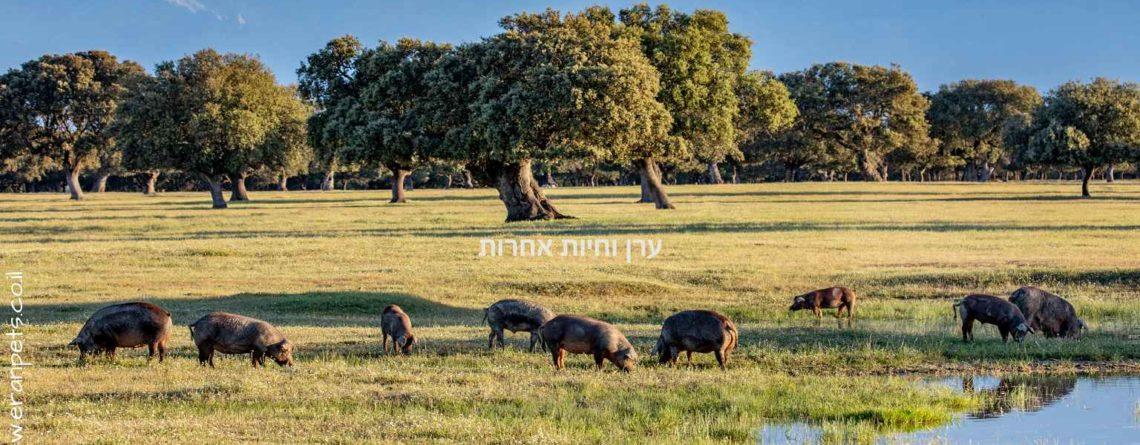 חזירים איבריאנים אוכלים עשב