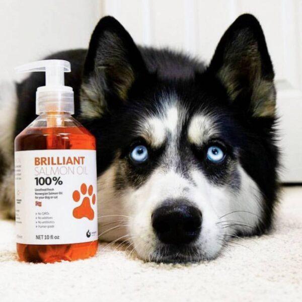 כלב האסקי שוכב ליד שמן סלמון לכלבים
