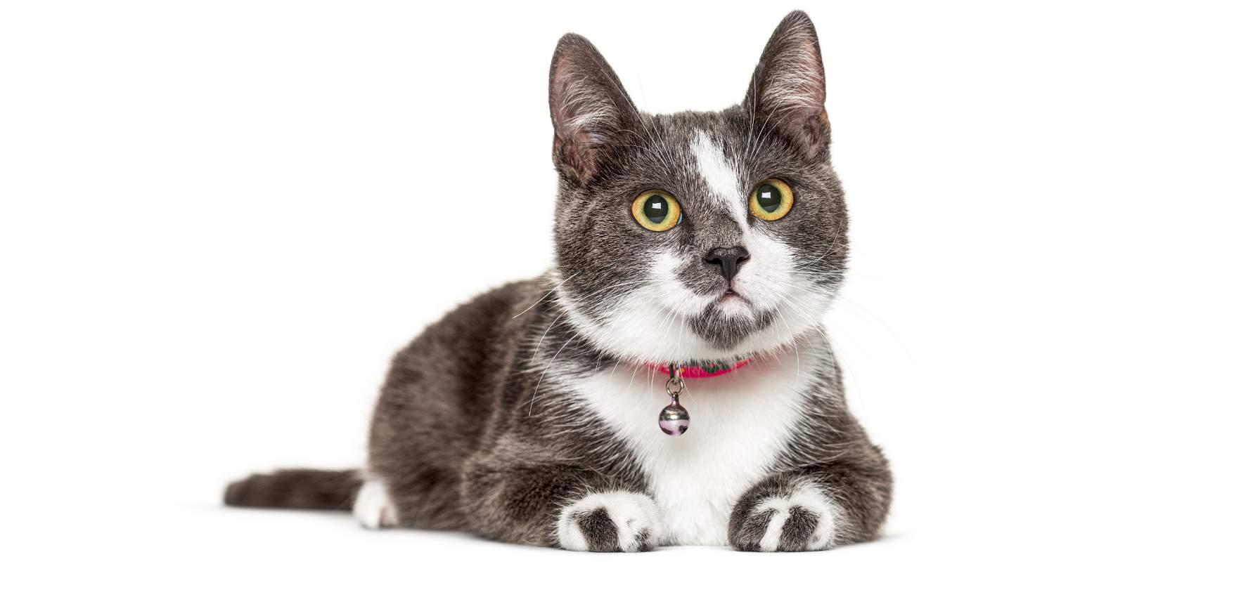 רצועות וקולרים לחתולים